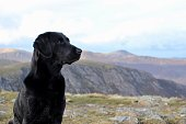 Black Labrador with Lake District in the background
