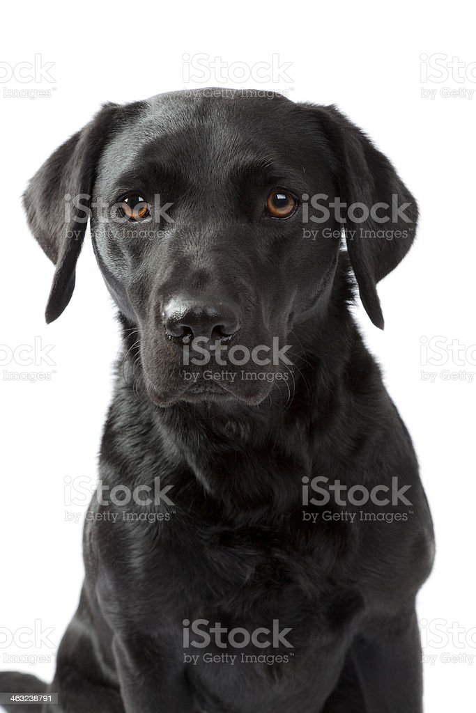 Black labrador isolated stock photo