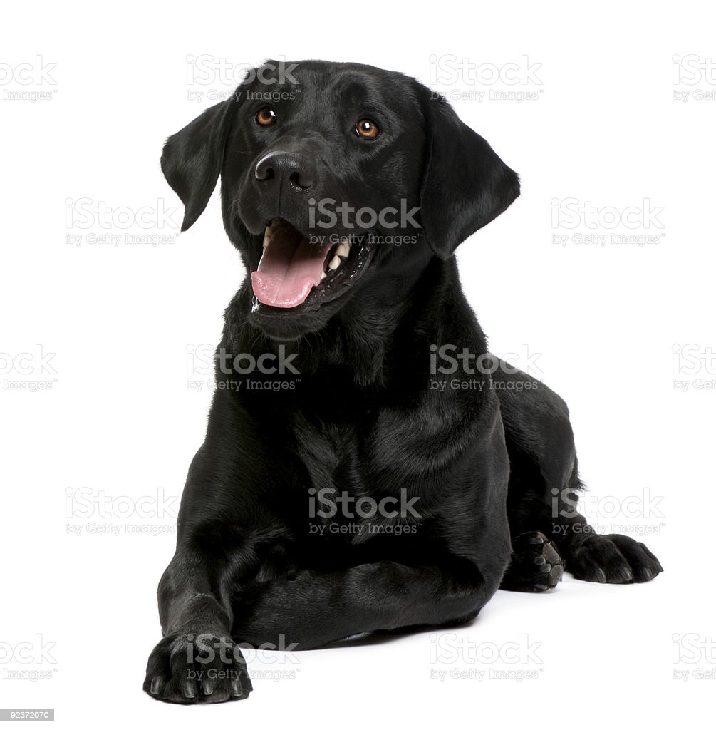 A black Labrador lying on the floor  stock photo
