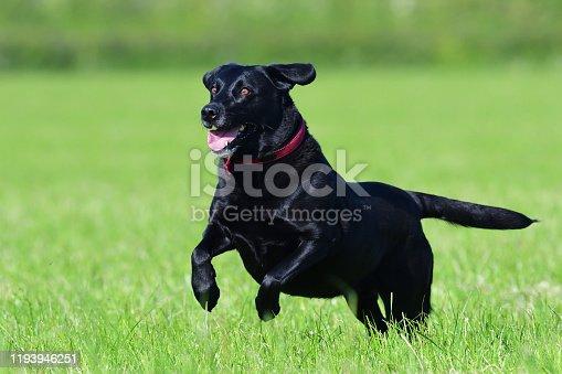 Action shot of a young black Labrador retriever running through a field