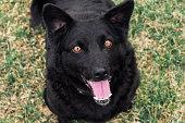 Dog, Black Labrador, Front or Back Yard, Grass, Panting