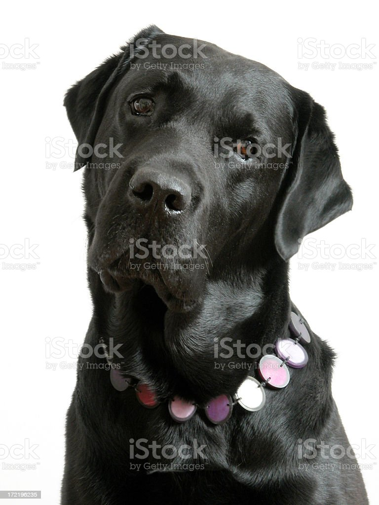 Black Labrador royalty-free stock photo
