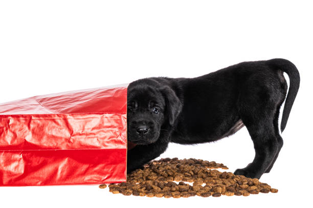 Black Labrador puppy caught eating from spilled dog food bag - 5 weeks old A cute young Black Labrador puppy, looking at the camera as he is caught eating kibble from a red paper bag of dog food that has spilled on a white background feeding frenzy stock pictures, royalty-free photos & images