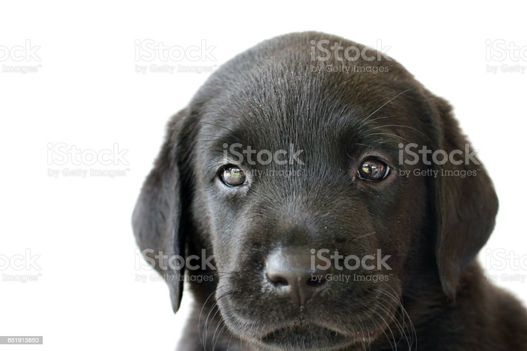 Black Labrador Puppy Close Up White Background Cute stock photo
