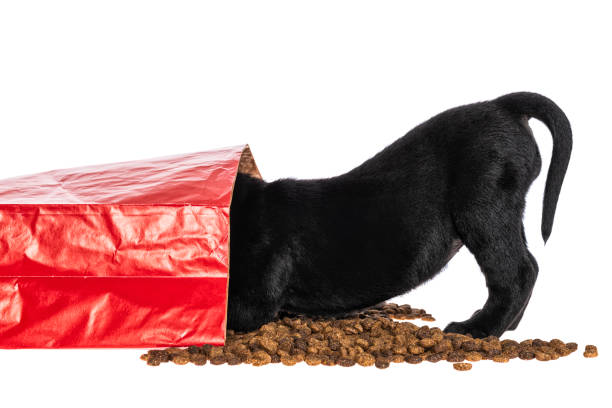 Black Labrador puppy eating from spilled dog food bag - 5 weeks old A cute young Black Labrador puppy eating kibble from a red paper bag of dog food that has spilled on a white background feeding frenzy stock pictures, royalty-free photos & images