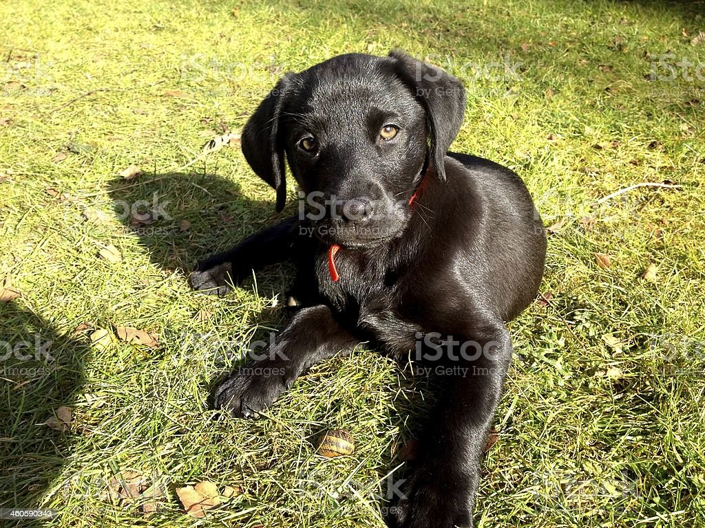 Black Labrador Puppy in the grass playing with a snail stock photo