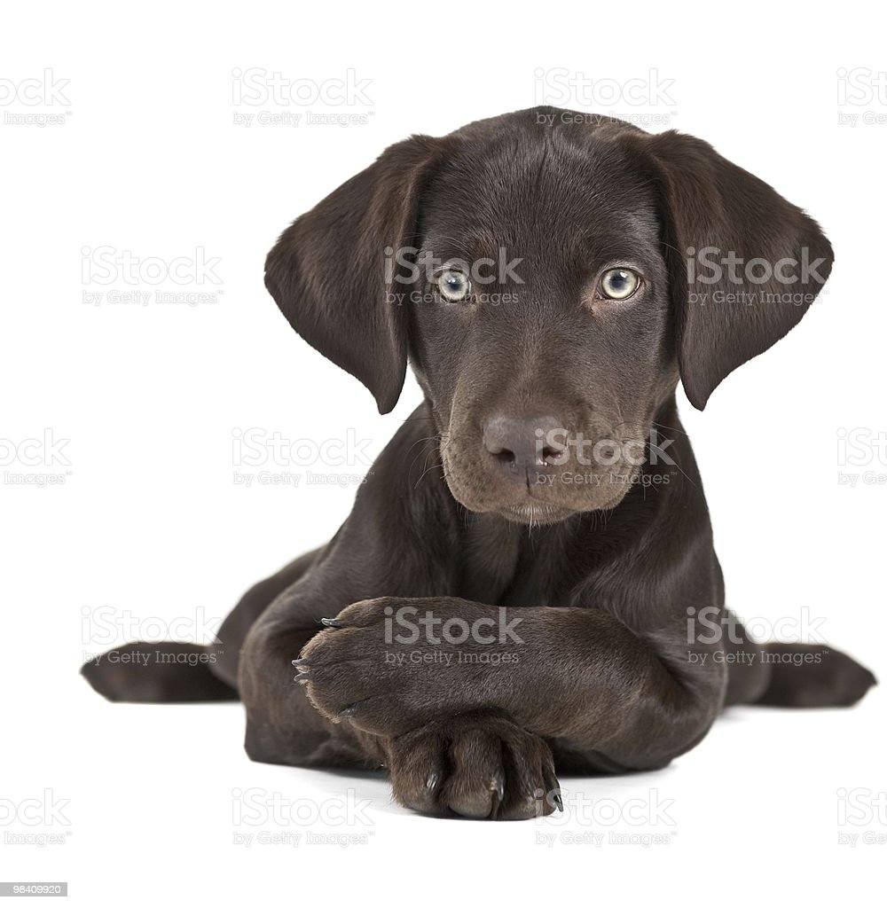 Black Labrador puppy laying on white surface royalty-free stock photo