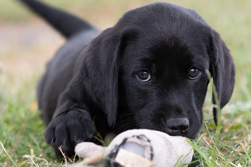 Cute portrait of an 8 week old black Labrador puppy sitting on the grass while playing with it's favourite toy
