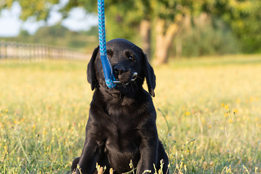 Portrait of an 8 week old black Labrador puppy playing with a dog lead
