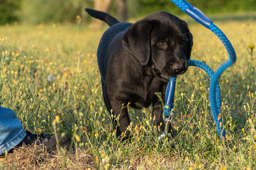 Portrait of a black Labrador puppy playing with a dog lead