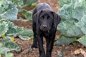 Portrait of an 11 week old black Labrador puppy in a vegetable garden