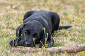 Portrait of an 11 week old black Labrador puppy playing with a stick in the garden