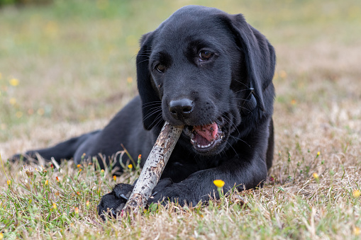 Portrait of an 11 week old black Labrador playing with a stick outside in the garden