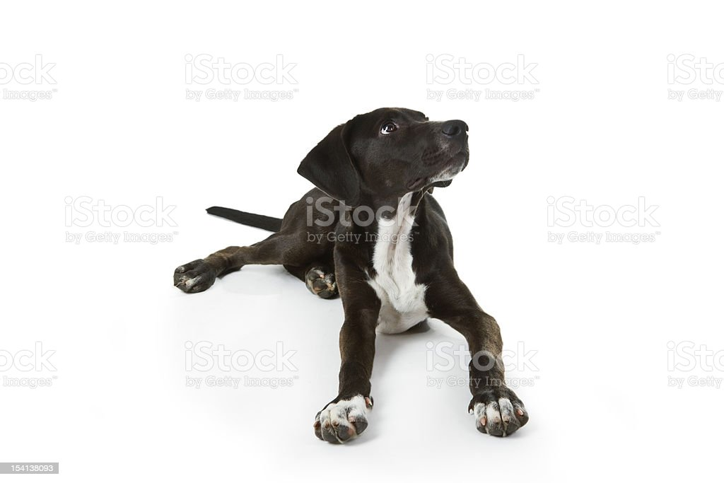 Black Labrador puppy royalty-free stock photo