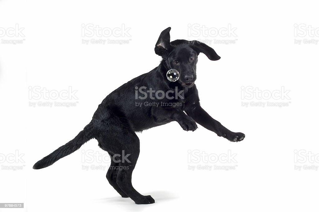 Chiot labrador noir - Photo