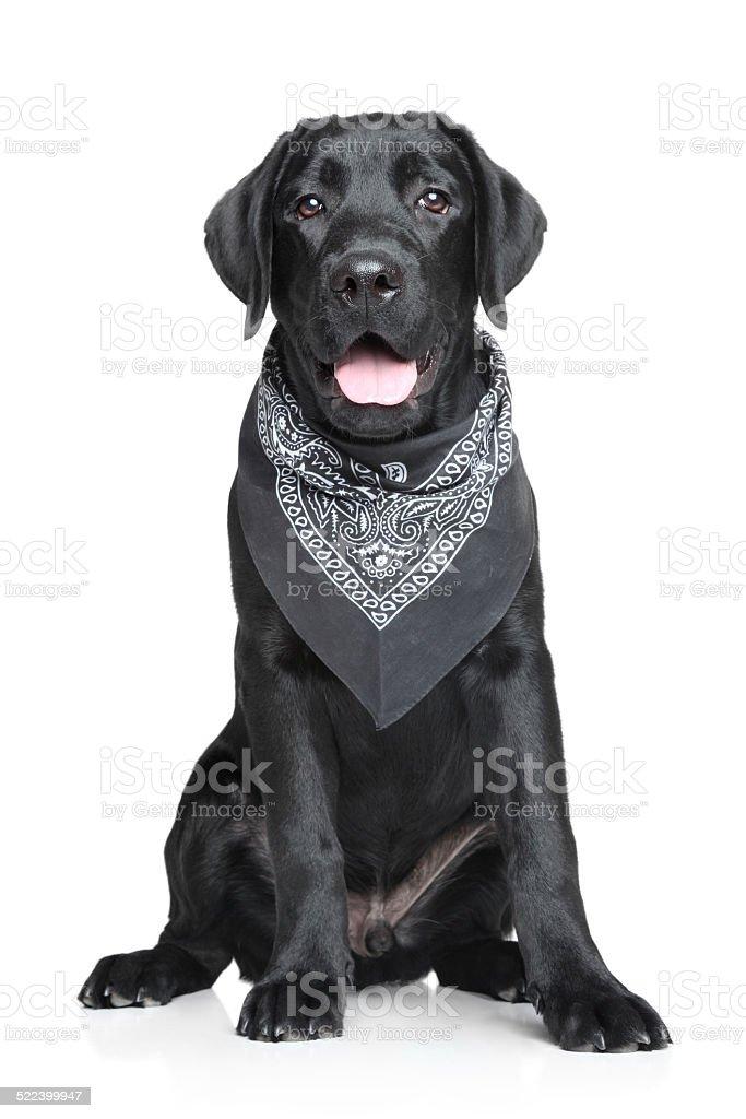 Black Labrador puppy portrait stock photo