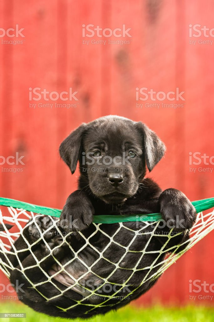 A Black Labrador Puppy resting in a hammock outside - 5 weeks old stock photo