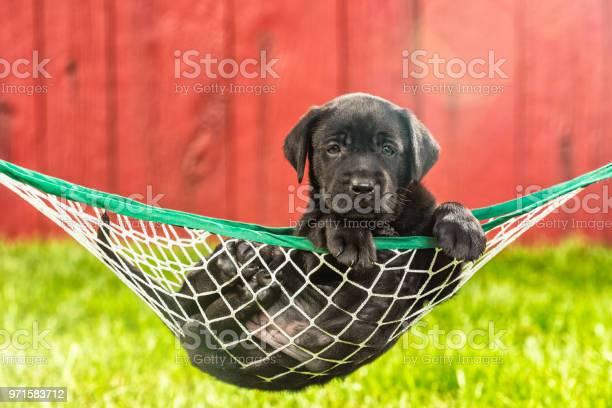 Black labrador puppy resting in a hammock outside 5 weeks old picture id971583712?b=1&k=6&m=971583712&s=612x612&h=9khzjl0mvp8towfquuvyfk0 dlkdtfvr7o3u9mrotei=