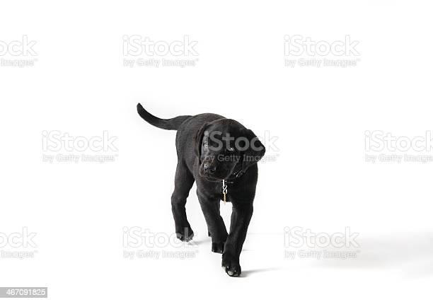 Black labrador puppy walking picture id467091825?b=1&k=6&m=467091825&s=612x612&h=k8ito6 sx95g6j3ky3gakvlc31x ctexgptt6b5hu6w=
