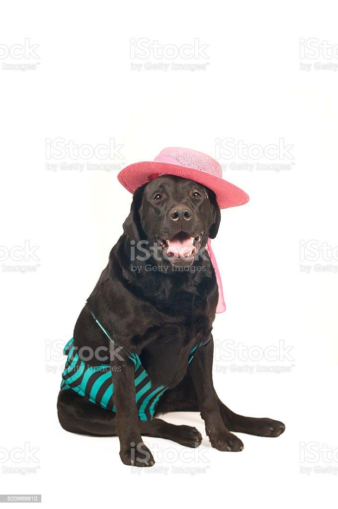 Black labrador retreiver portrait stock photo