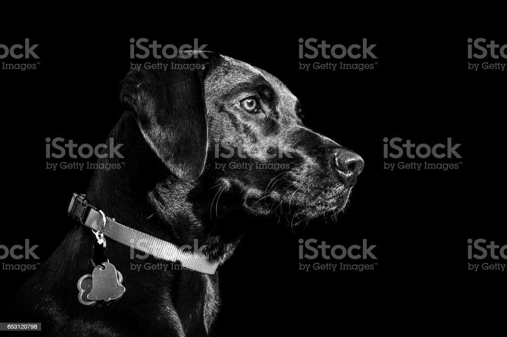 Black Labrador Retriever Focusing stock photo