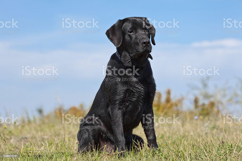 Black labrador retriever in green grass stock photo