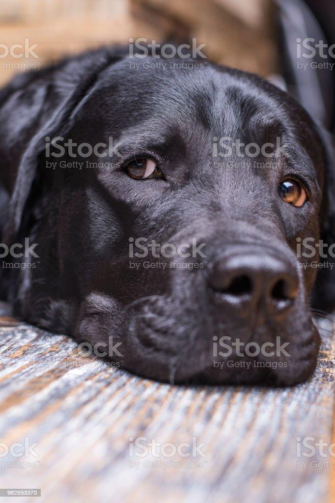 A black labrador retriever lies muzzle on the floor - Royalty-free Animal Stock Photo