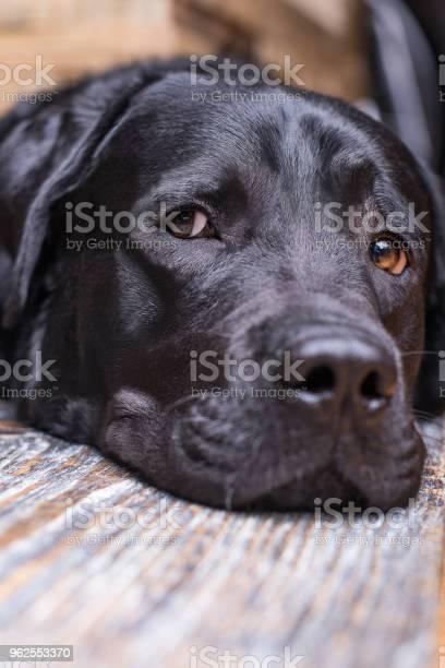 Foto de Um Labrador Preto Encontrase O Focinho No Chão e mais fotos de stock de Animal