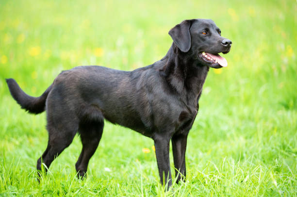 black labrador retriever on the grass - labrador retriever foto e immagini stock