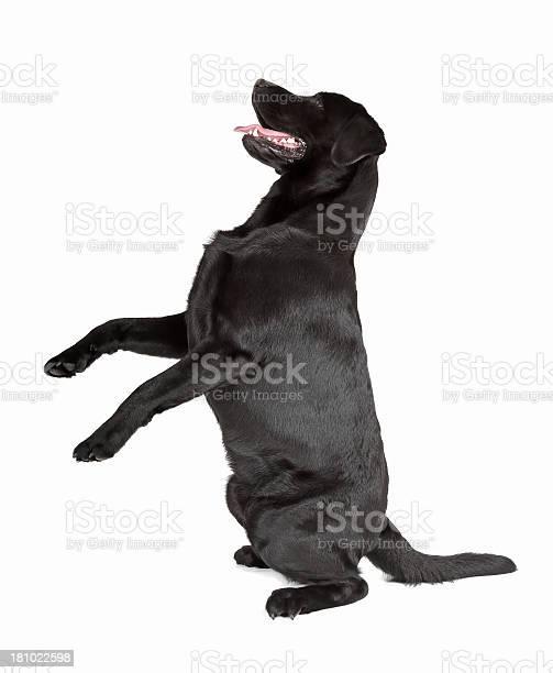 Black labrador retriever picture id181022598?b=1&k=6&m=181022598&s=612x612&h=tzd5op30xczwi9mq7jiowqrzblfchswkggejodbw9d0=