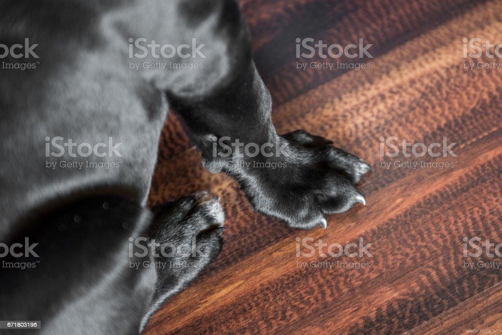 Black Labrador Retriever puppies paw. Dog sits on a wood table.