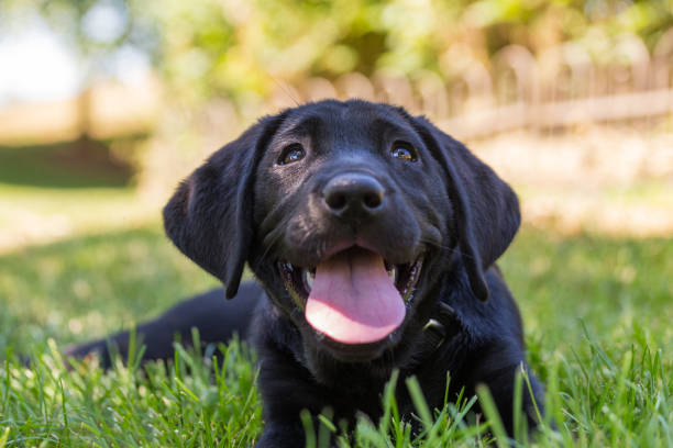 Black labrador retriever puppy relaxing in the shade on the grass stock photo