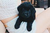 Black Labrador retriever puppy resting on women's lap looking at camera