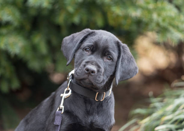 Black labrador retriever puppy with a confused look in front of a forest stock photo