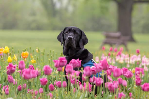 Black labrador retriever sitting among tulips stock photo