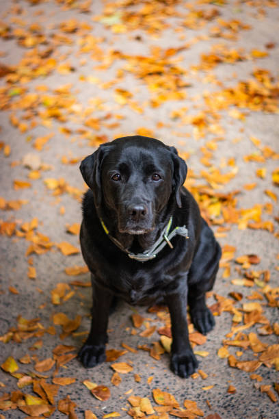 Black Labrador Retriever sitting on the gray ground and looking forward during autumn, dog has green collar, orange leaves are around – zdjęcie