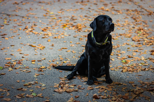 Black Labrador Retriever sitting on the gray ground and looking right during autumn, dog has green collar, orange leaves are around – zdjęcie
