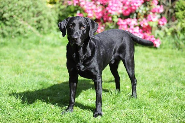 Black labrador standing in the garden stock photo