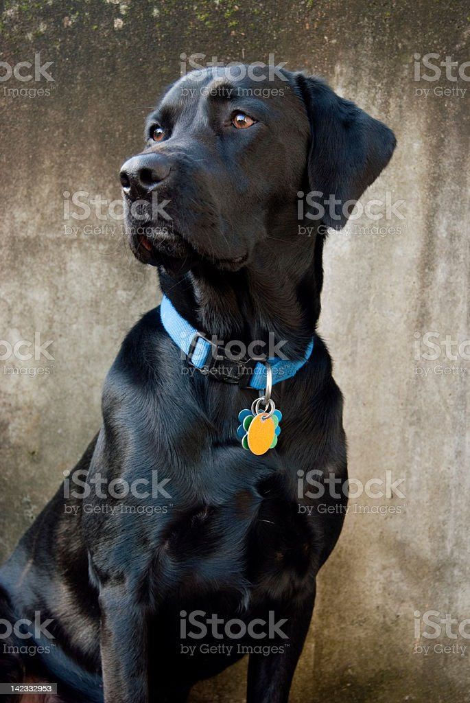 Black Labrador wearing blue collar with tags stock photo