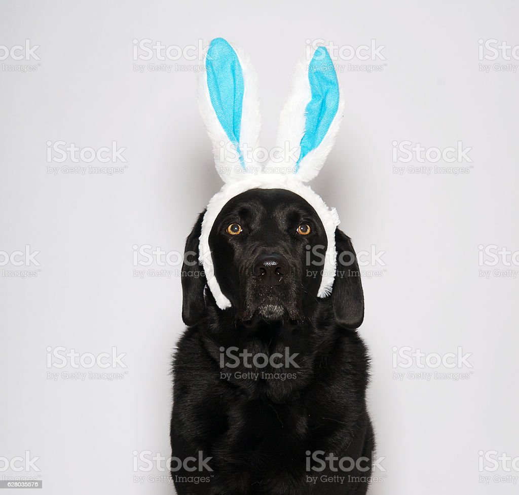 Black Labrador wearing Easter Bunny ears stock photo
