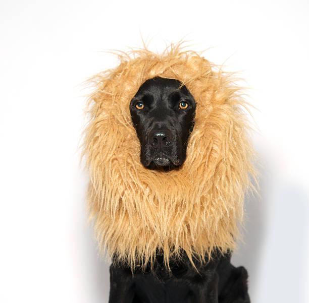 Black Labrador wearing Lion's mane stock photo