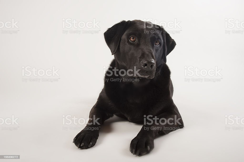 black labrador with curious expression royalty-free stock photo