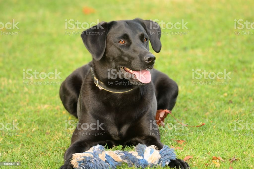black Labrador with its favourite toy stock photo