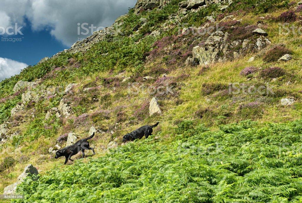 Black Labradors on the banks of Ullswater stock photo