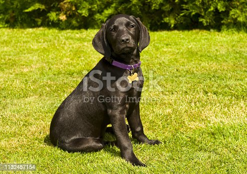 A young black Labrador puppy sitting on the grass and looking at the camera.