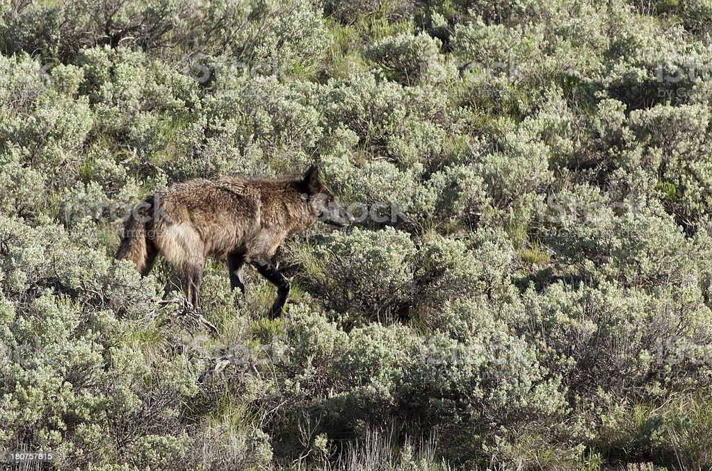 Black Lamar Canyon wolf Yellowstone NP Wyoming royalty-free stock photo