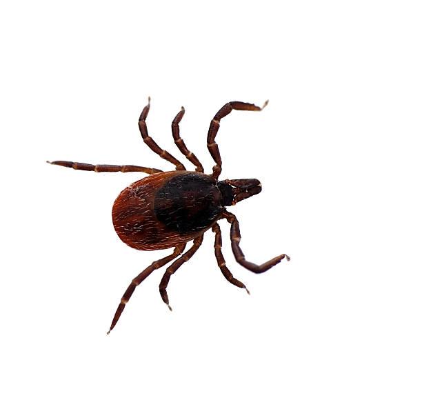 Garrrapata de patas negras aisladas-Ixodes scapularis - foto de stock