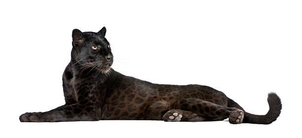 Black leopard 6 years old lying down studio shot picture id95739320?b=1&k=6&m=95739320&s=612x612&w=0&h=txfznejao6ca4nxmywlmb3ktg3ziafv4dcmv0cxdziy=