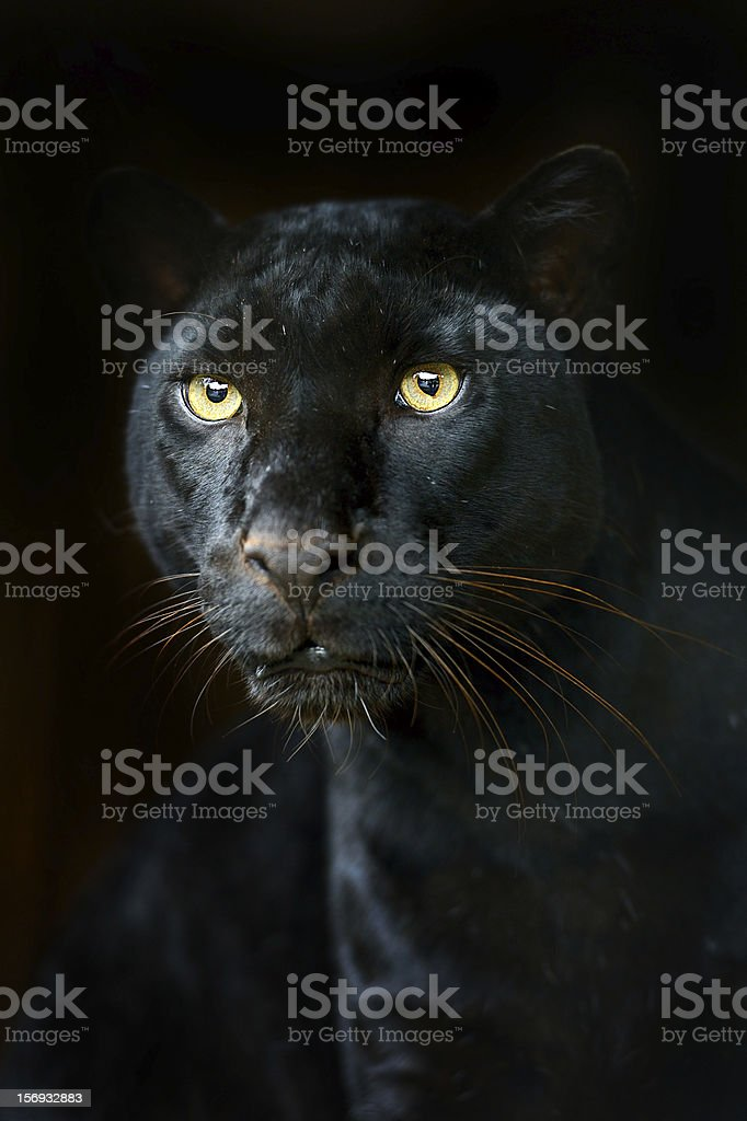 Black leopard camouflaged on black background stock photo
