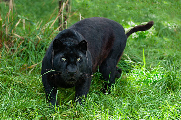 black leopard hunting in the long grass - black leopard stock pictures, royalty-free photos & images